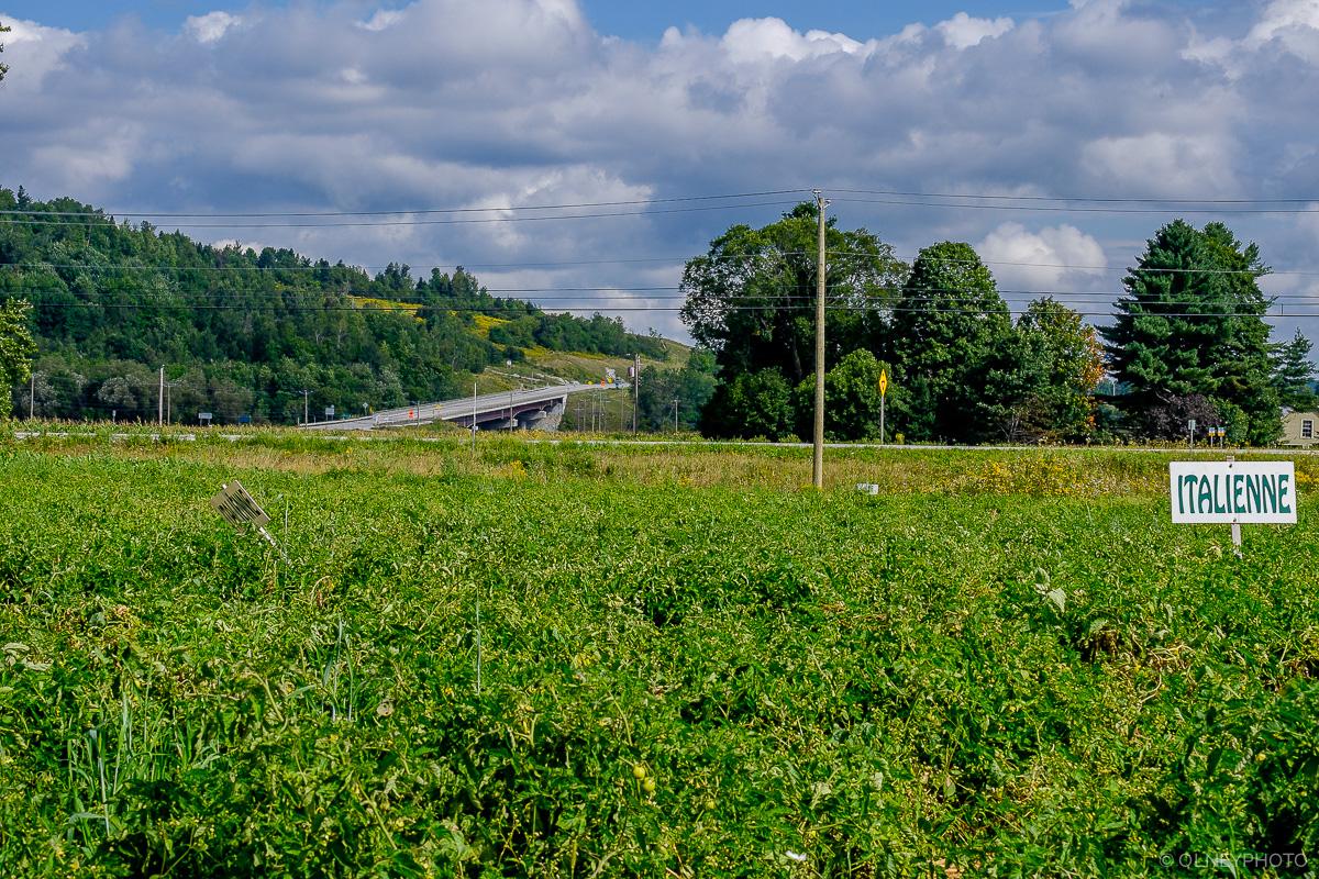 Tomatoes field in Sherbrooke OLNEY Photographe