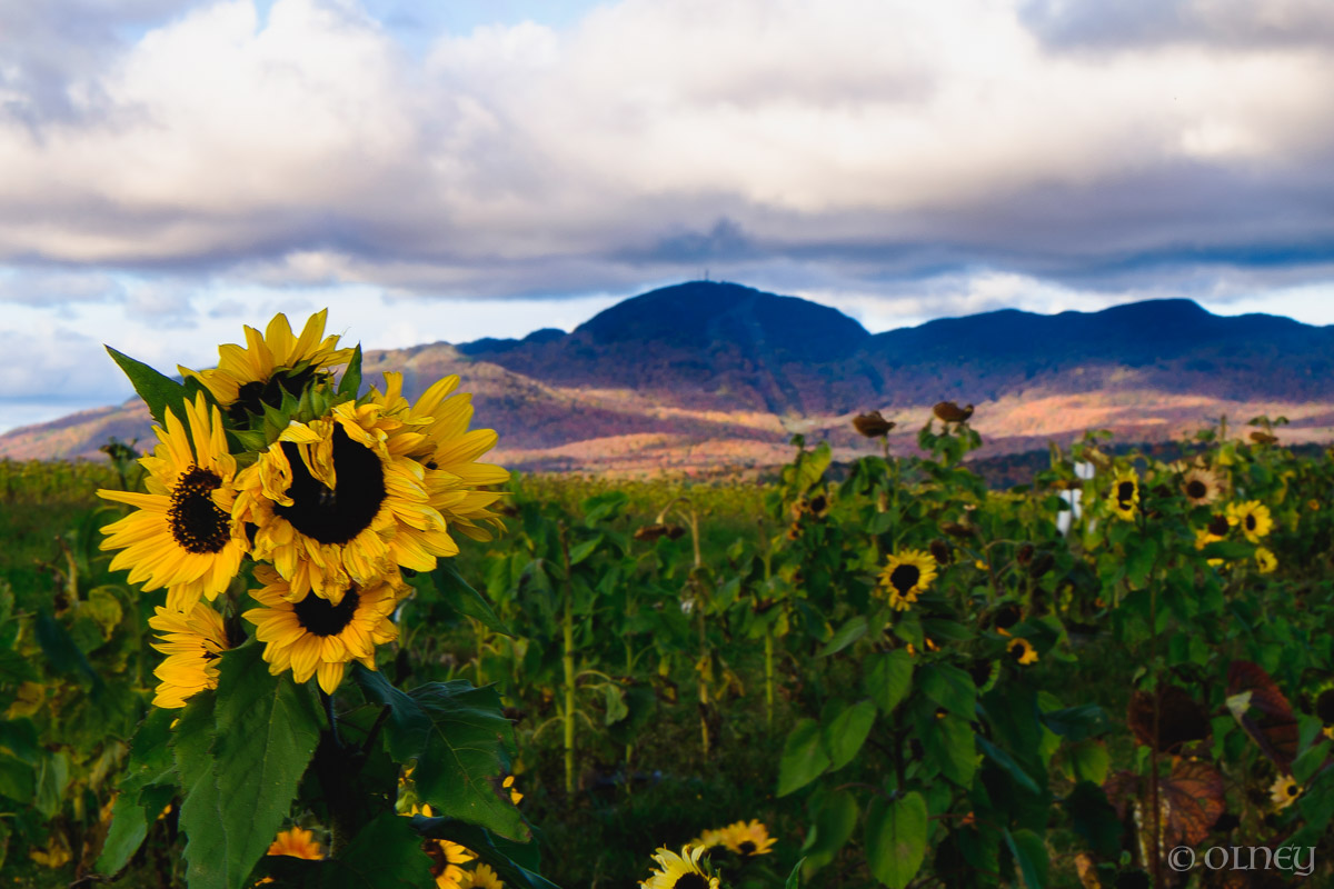Sunflowers at Citrouilles et Tournesols Orford - Un autre point de vue paysage OLNEY Photographe Sherbrooke