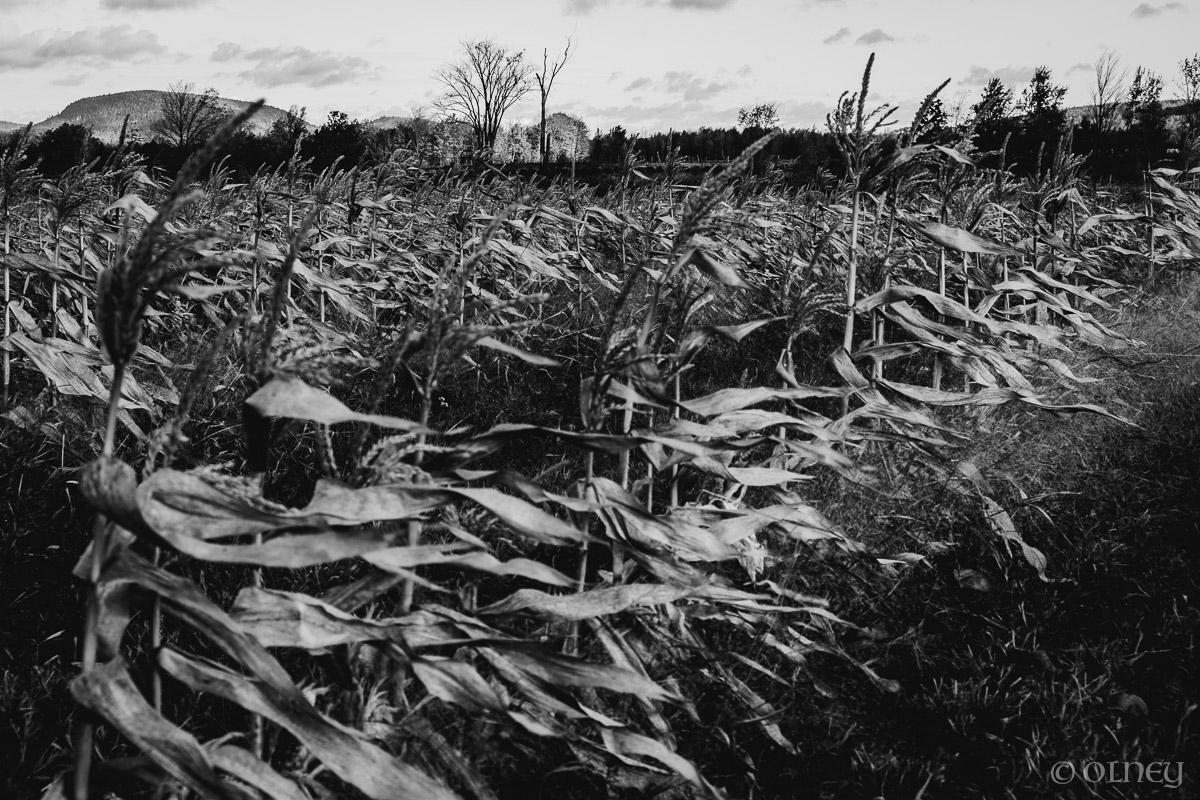 Dying corn at Citrouilles et Tournesols - un autre point de vue paysage OLNEY Photographe Sherbrooke