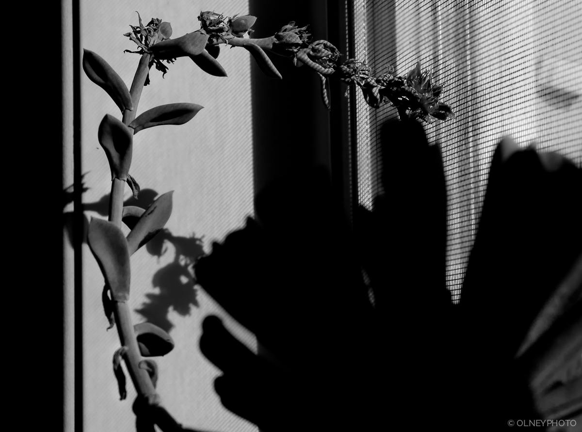 Plant and its shadow creates contrasts OLNEY Photographe Sherbrooke