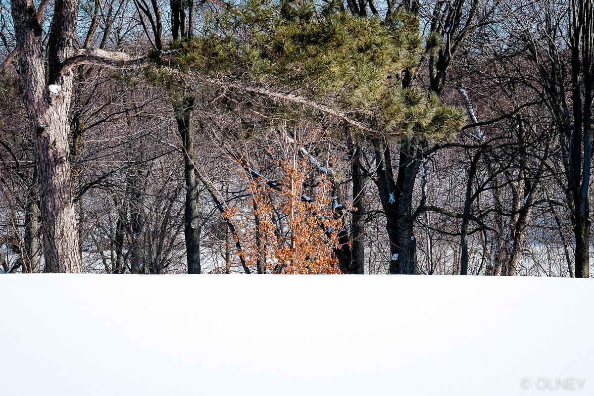 Orange leaves in snow field olney photographe sherbrooke