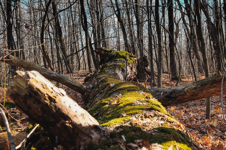 tronc moussu tombé au bois beckett à Sherbrooke QC en Estrie