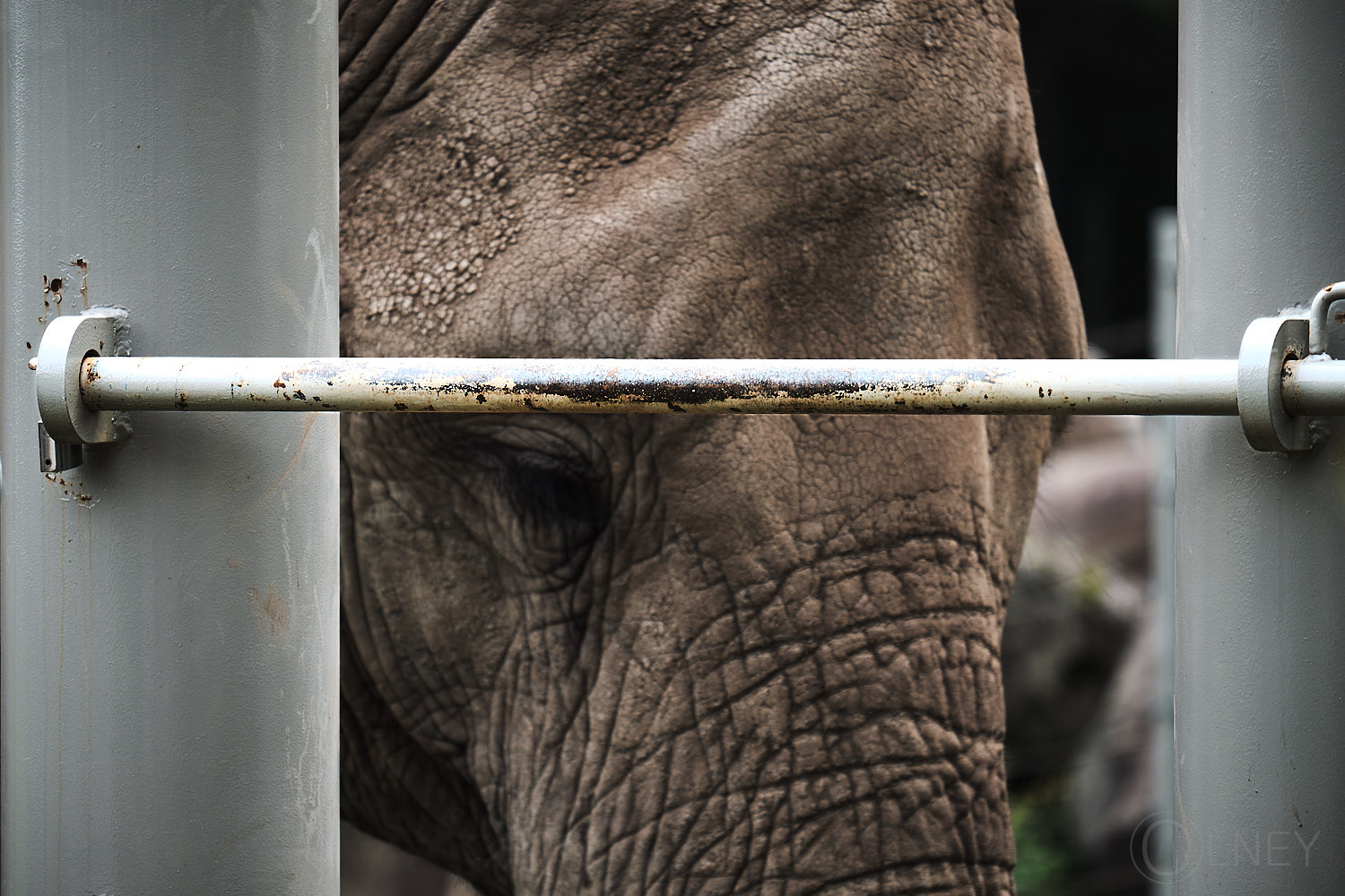 caged elephant at granby zoo