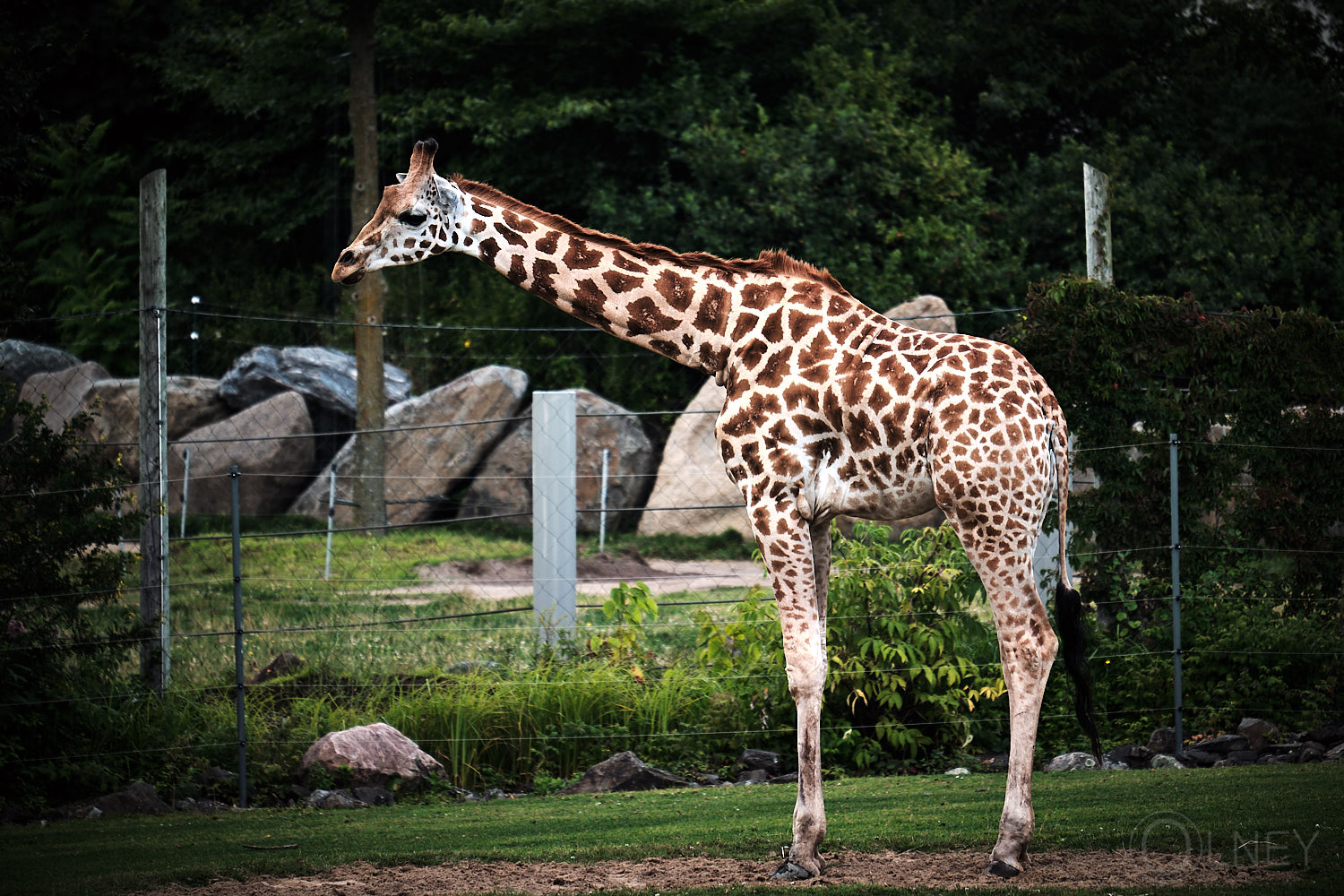 giraffe at granby zoo