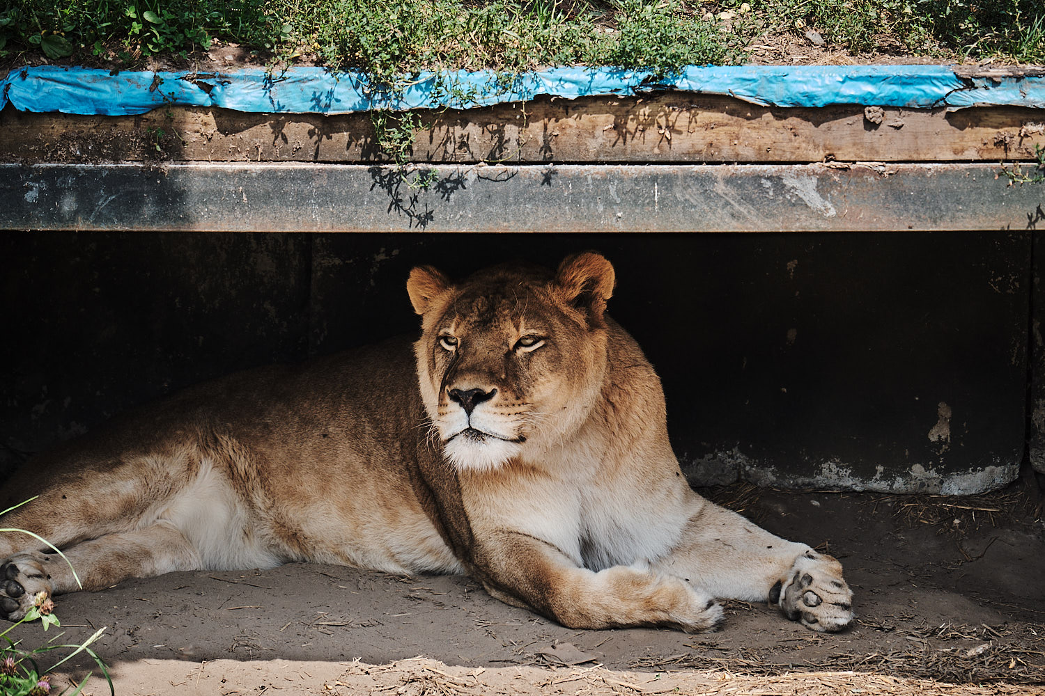 lioness at granby zoo