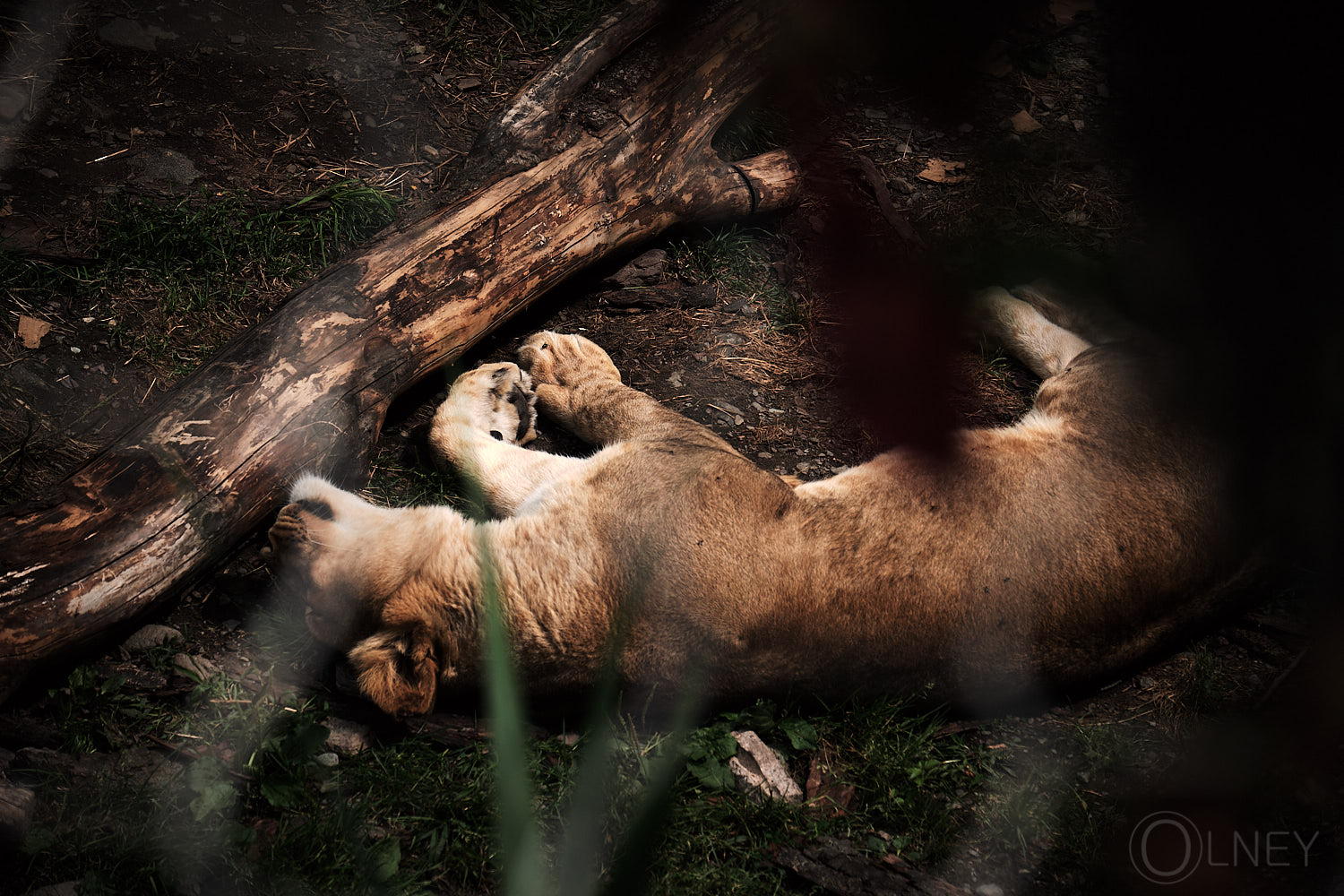 sleeping lion at granby zoo