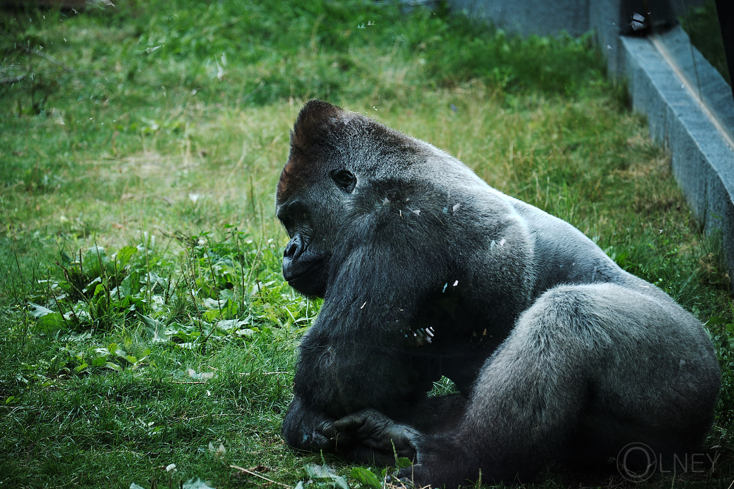 laid back gorilla at granby zoo