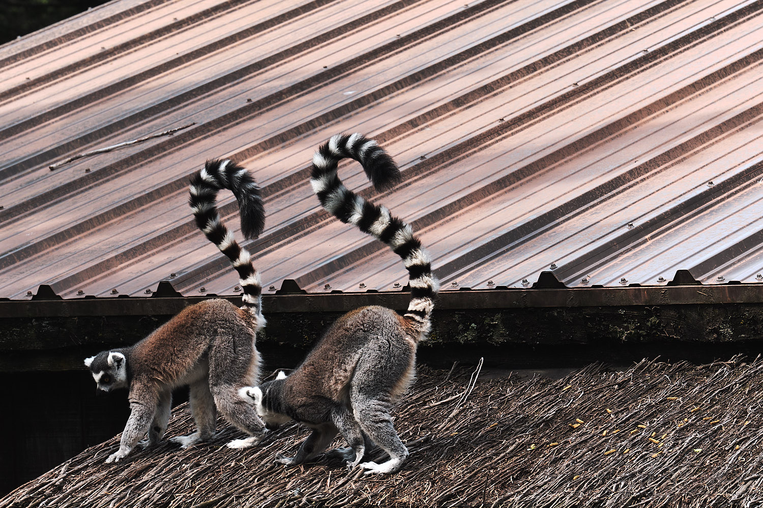 lemurs of madagascar at granby zoo