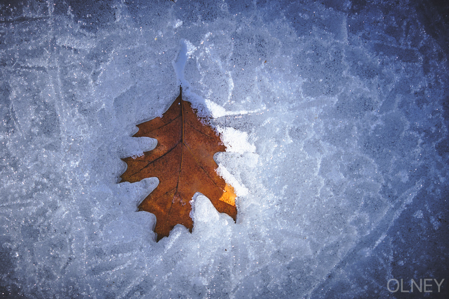 Oak tree leaf in ice