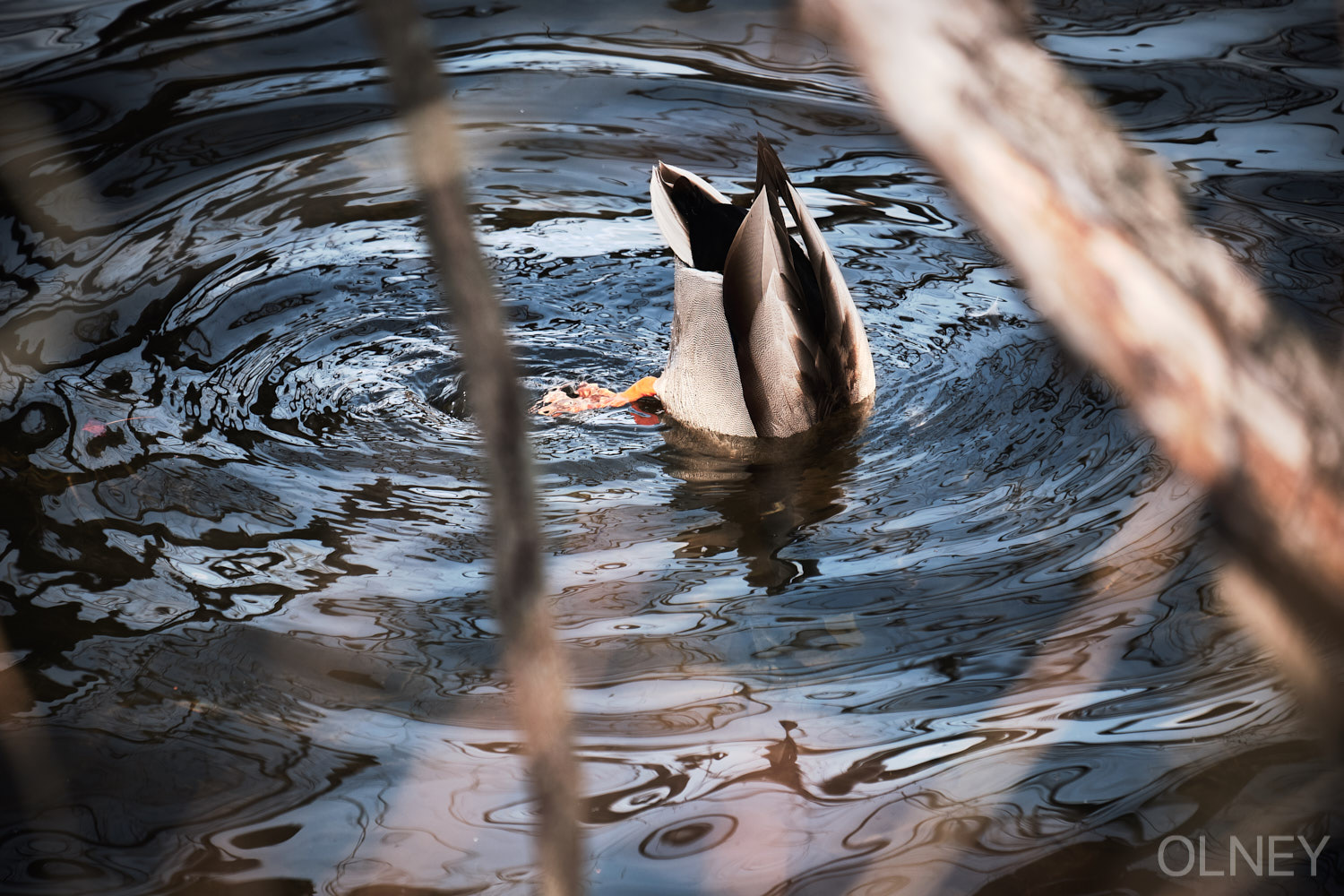 duck searching for food underwater