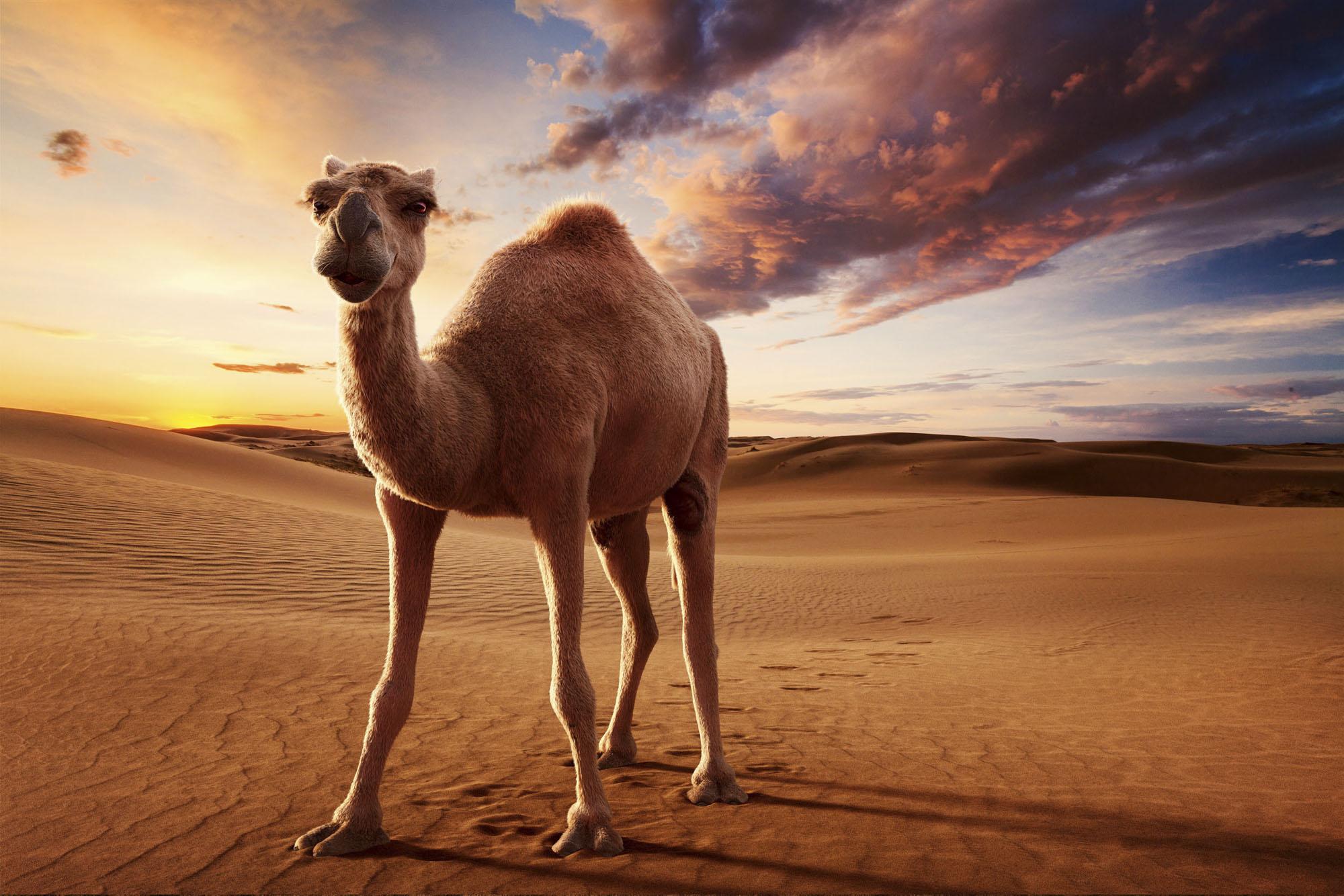 desert-camel-final