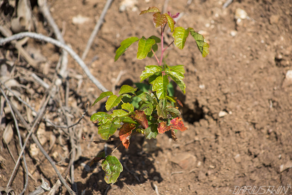 Poison Oak (Watch Out For These!)