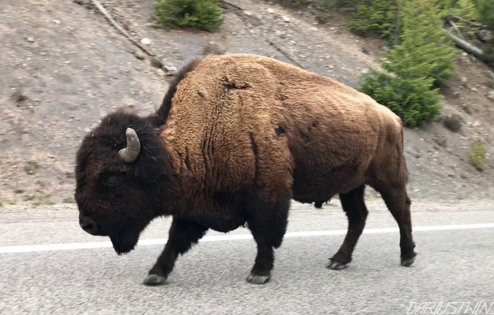 bison-yellowstone-profile-close-walking-darren-pearson-dariustwin-iphone-wildlife.jpg