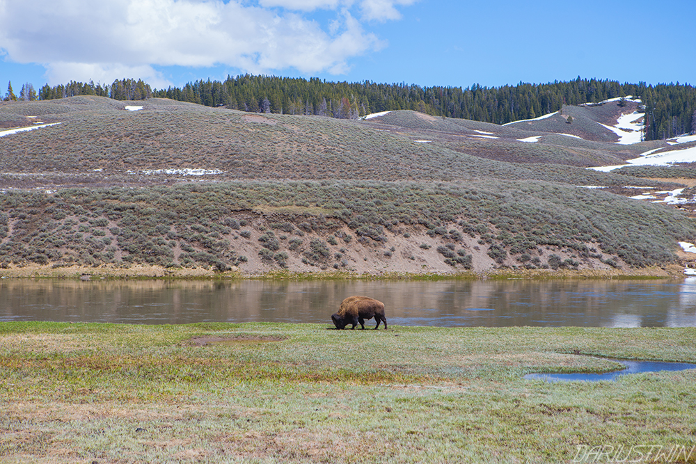 bison-yellowstone-day-dariustwin.jpg