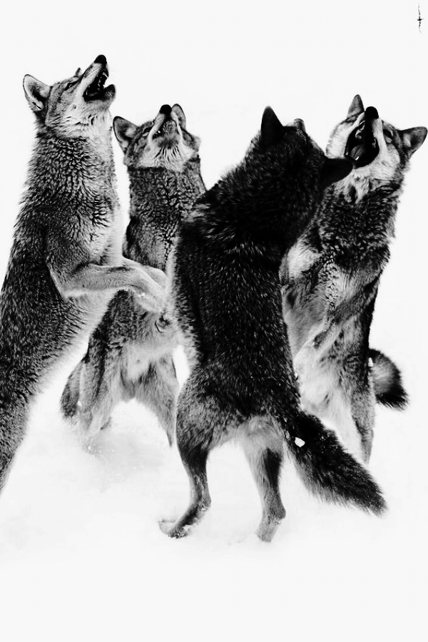 DancingWolves.jpg