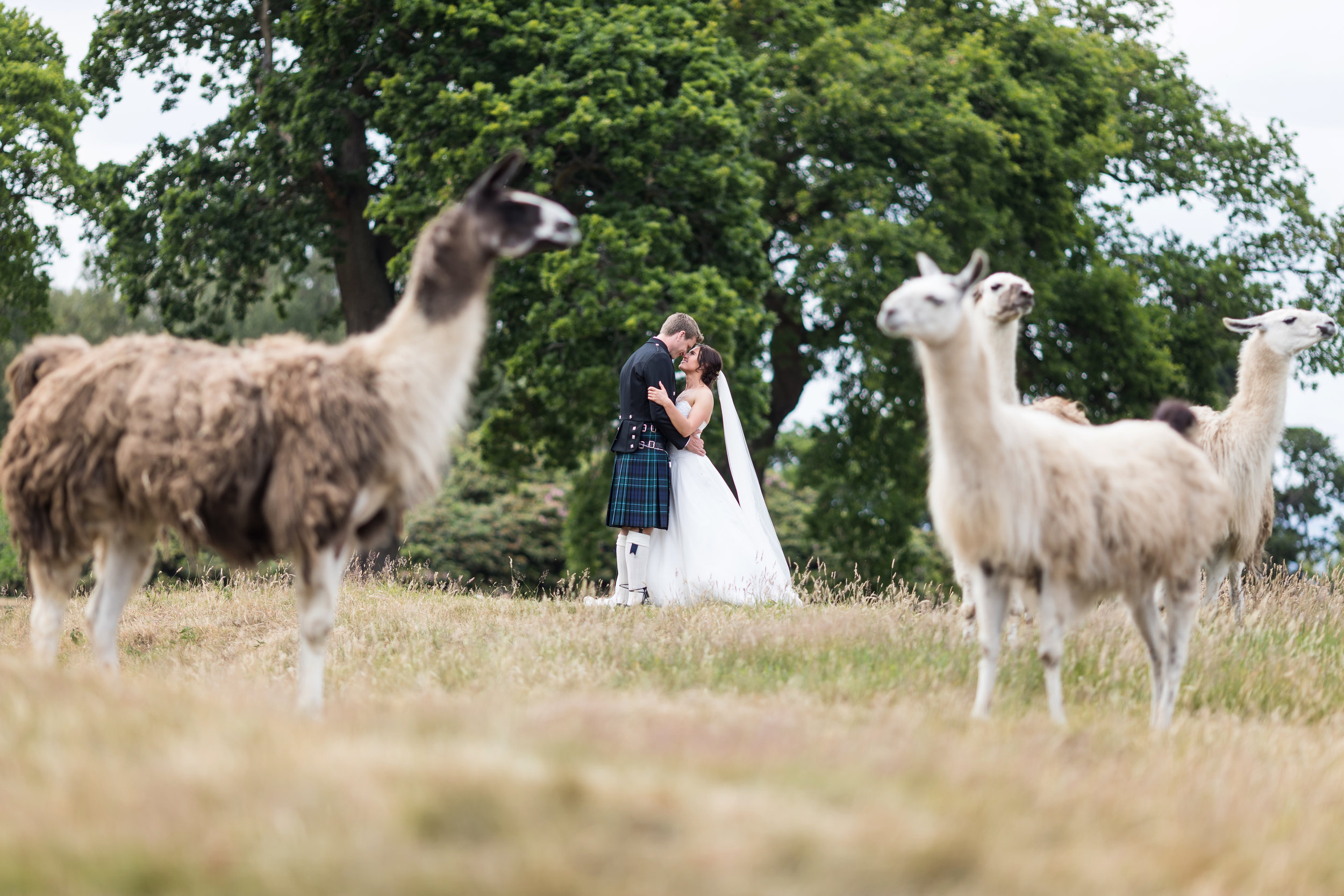 Llama photograph, Ryan White Photography (96).jpg