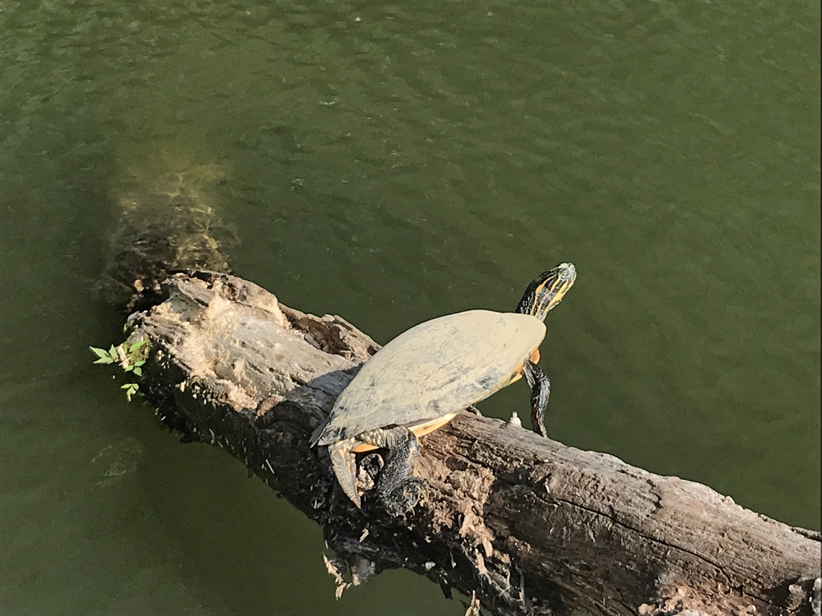 Lake Lure Turtle.jpg