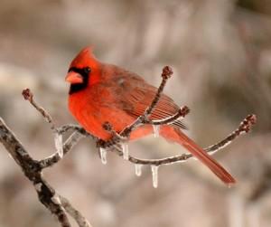 cardinal-300x251.jpg