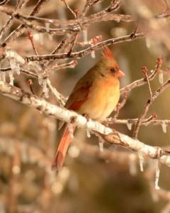 icy-cardinal-240x300.jpg