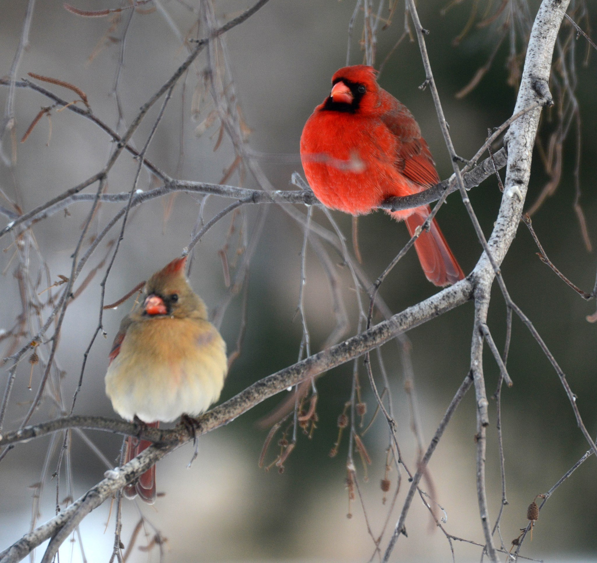 winter-cardinal-couple-bw.jpg