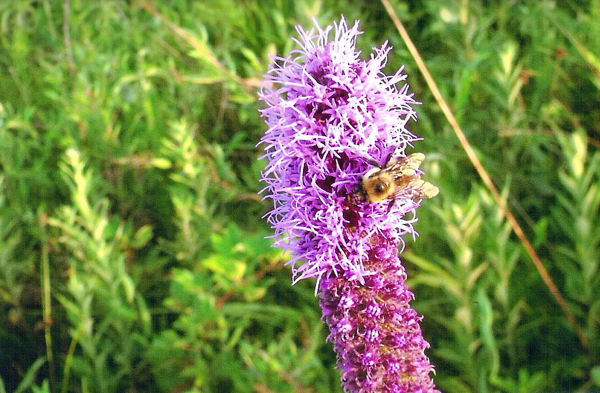 Bee-on-Blazing-Star-billie_edited-1.jpg