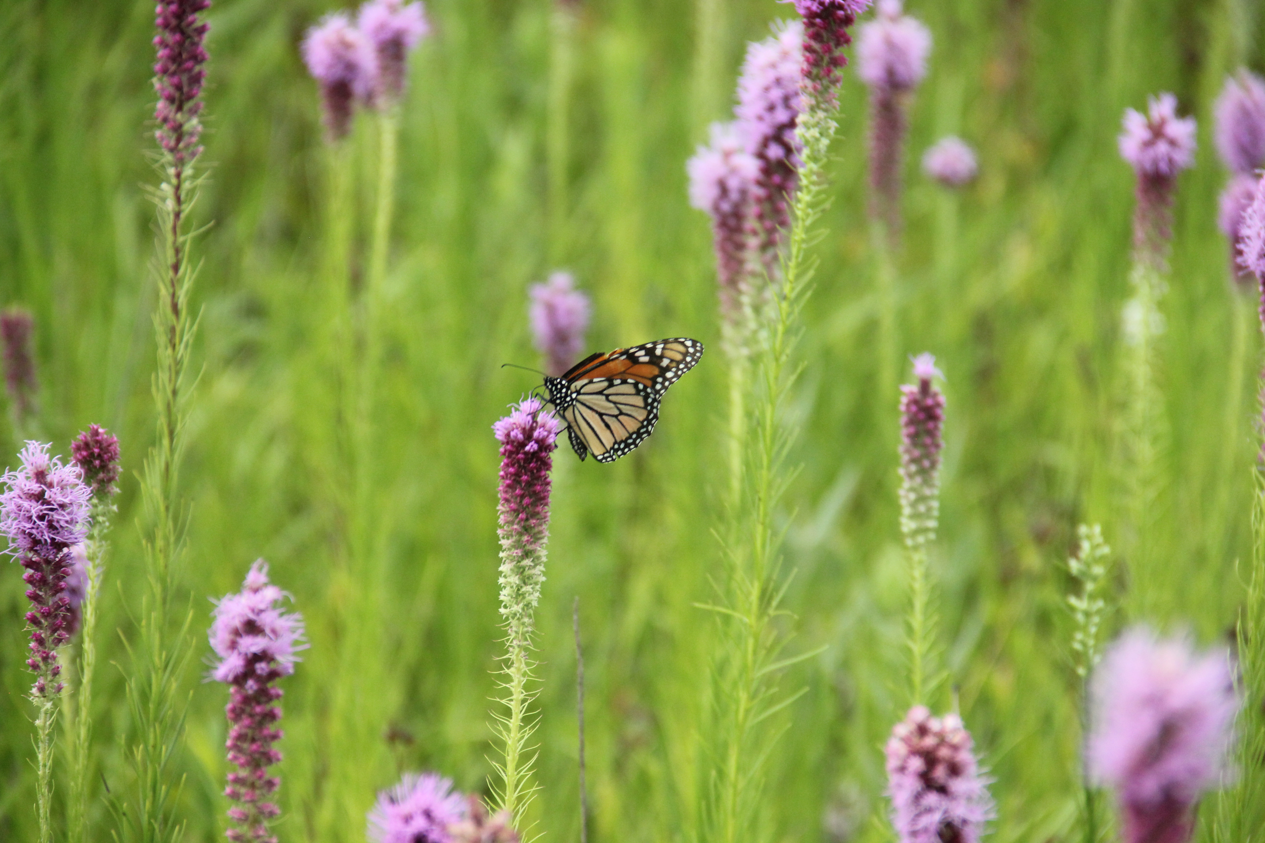 prairie-blazing-star-jeff.jpg