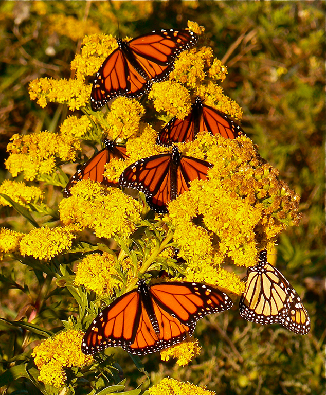 monarchs on Goldenrod val resized.jpg