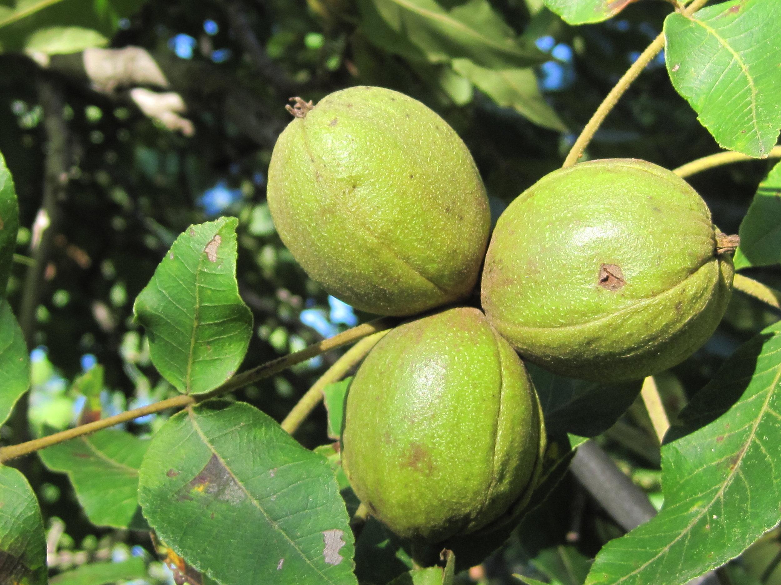 Mockernut Hickory Nuts