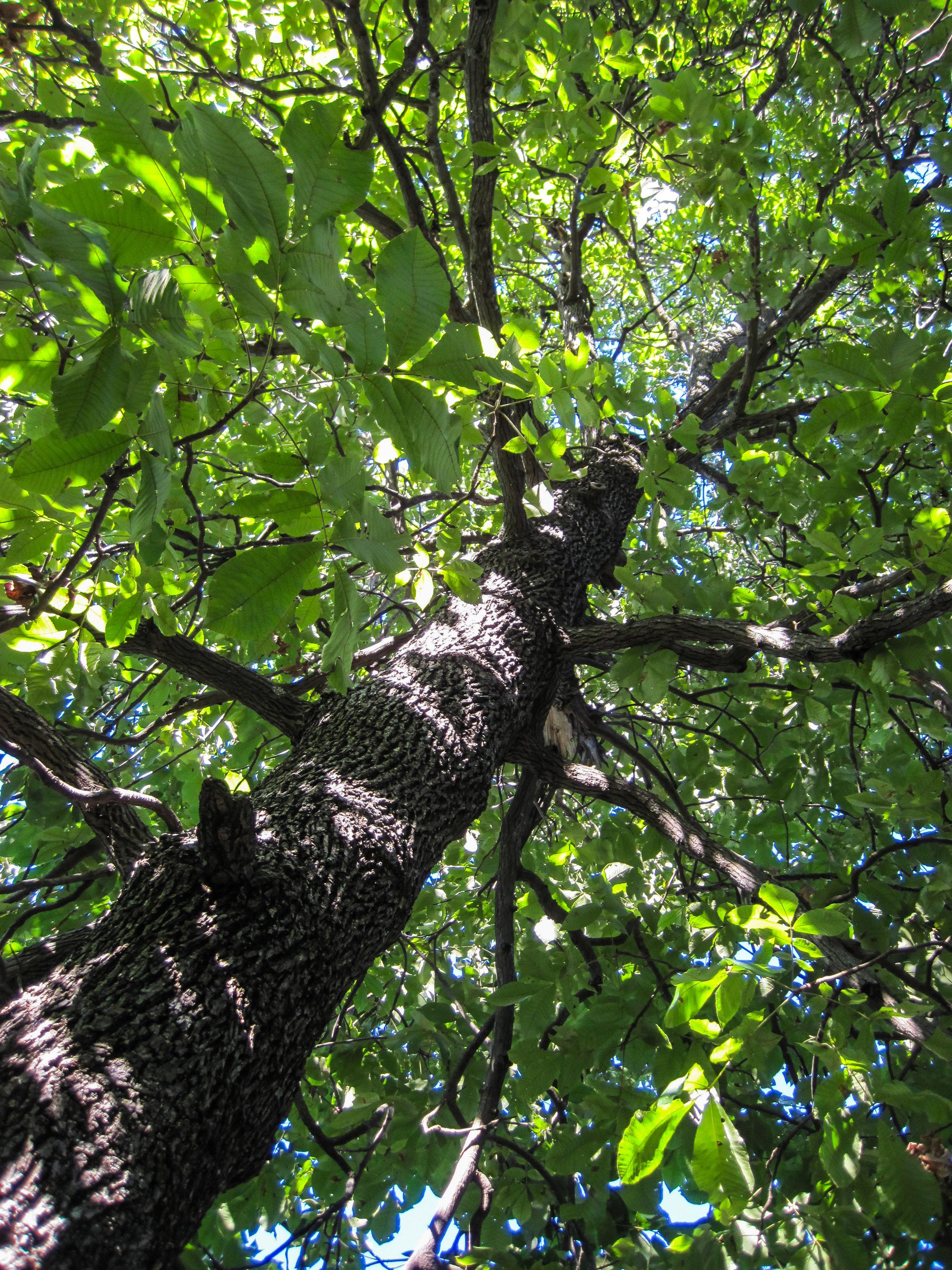 Mockernut Hickory Tree