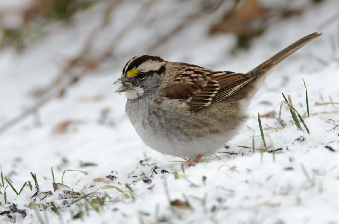 _DSC2286-1_preview bird in snow rsk (Medium).jpeg