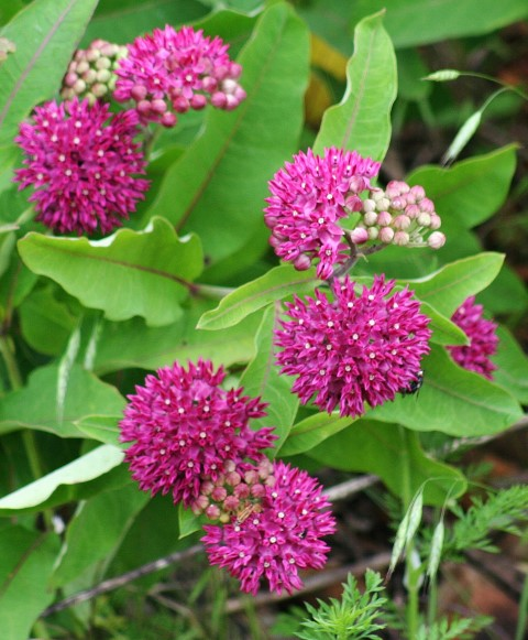 Purple Milkweed Kevin Mouser (Small).JPG
