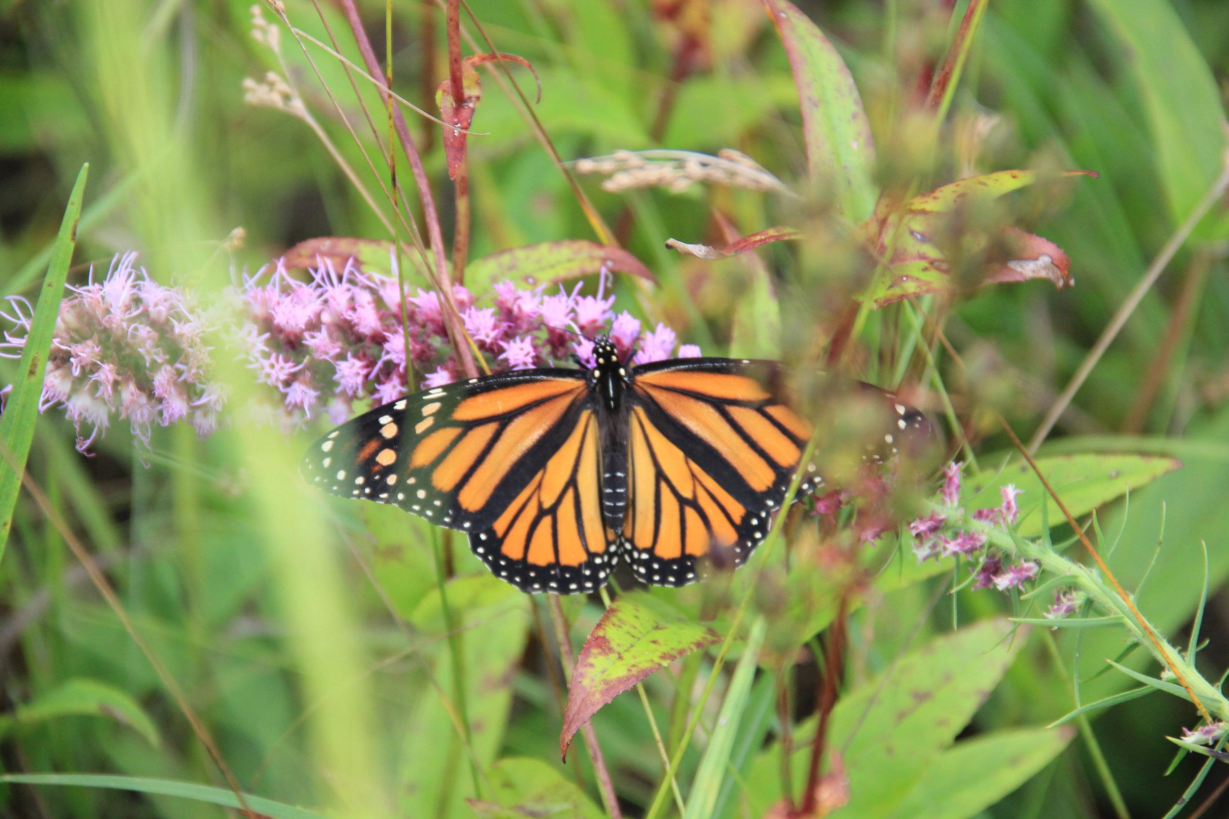 monarch jc.JPG