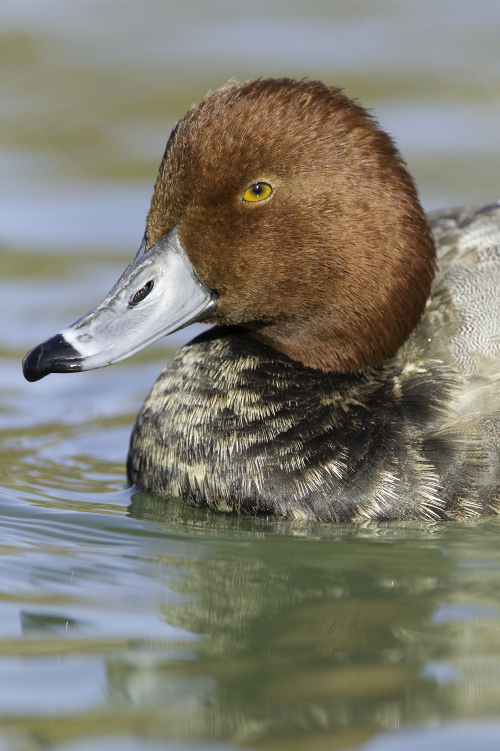 Redhead.  The redhead is a medium-sized diving duck