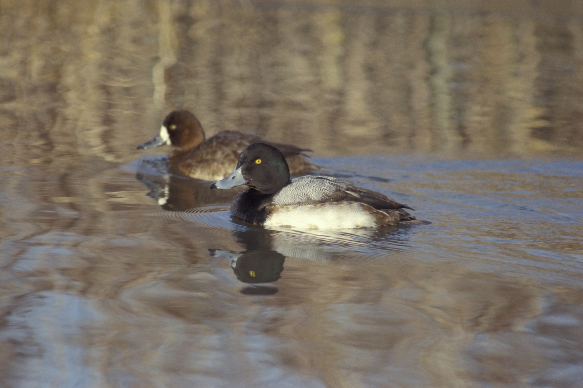 Greater scaup.  The greater scaup is a mid-sized diving duck, larger than the closely related lesser scaup
