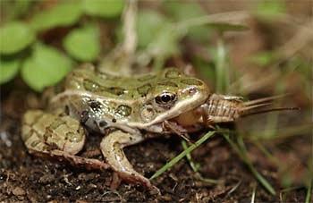 Adult Southern Leopard Frog eating prey.