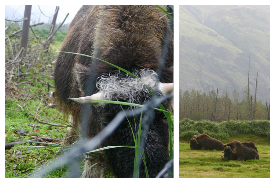 Musk Ox - Alaskan Wildlife Conservation Centre