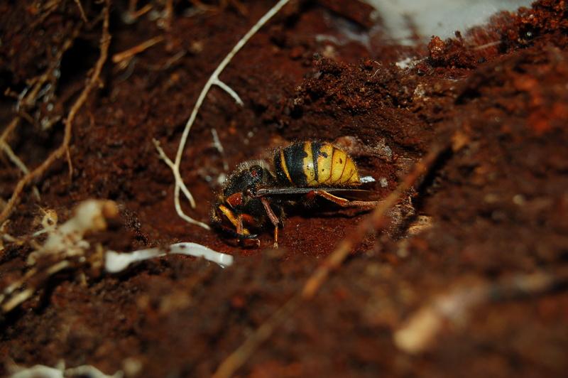 Frelon européen ( Vespa crabro ) en pleine diapause dans une cavité. Photo de Philippe Caillon.