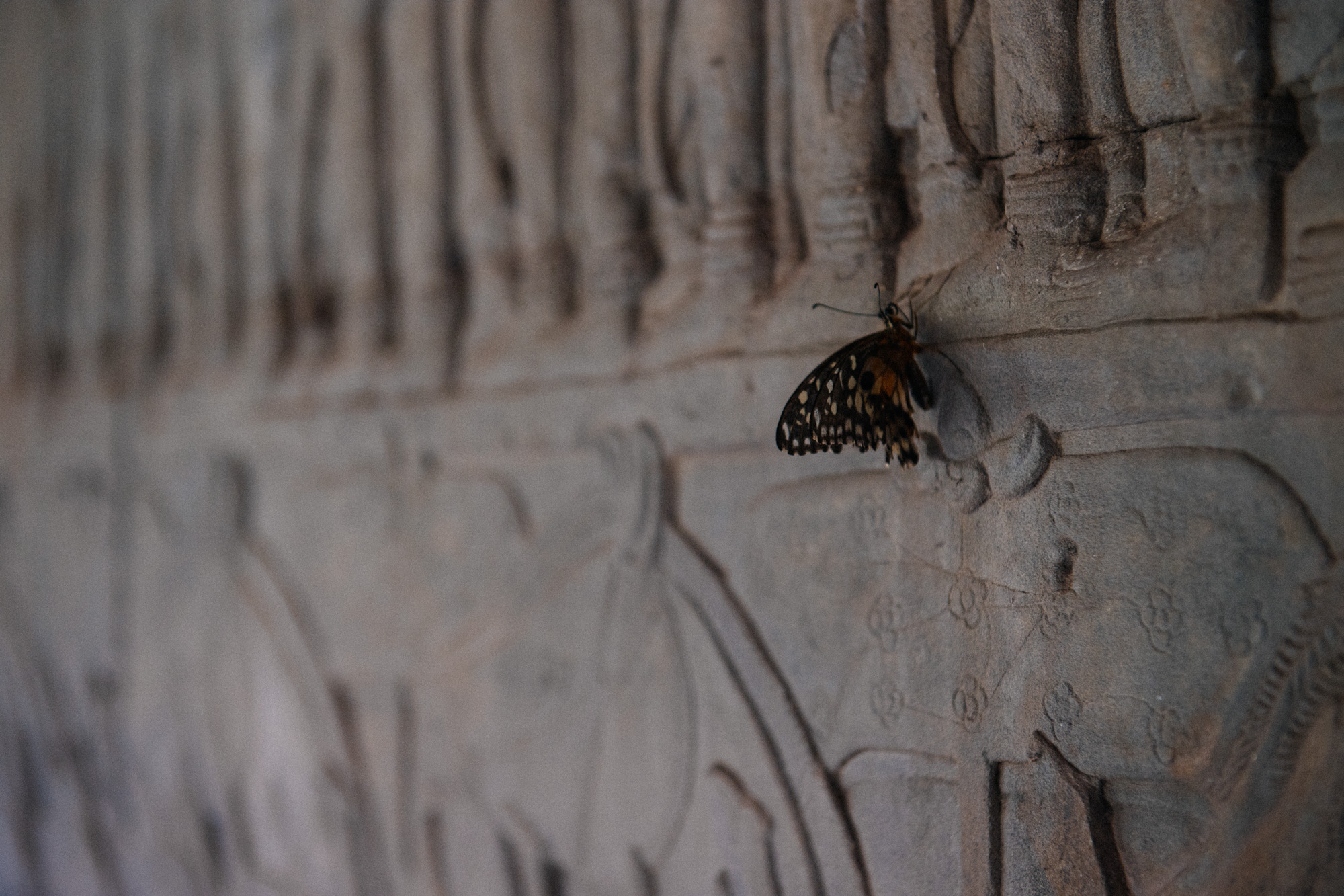 A butterfly rests on the centuries old engraving on the north side of the Angkor Wat.