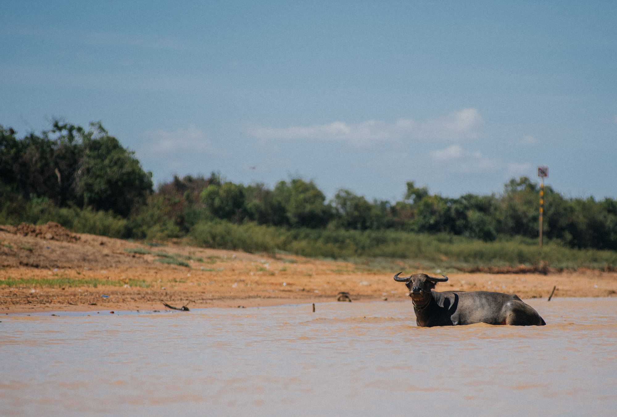Water buffalos are a common site in this region of Cambodia.