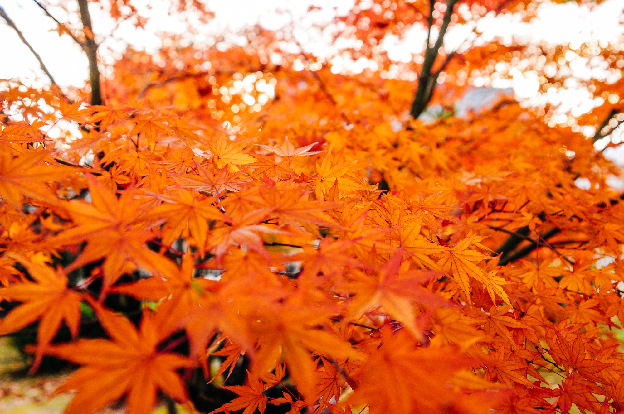 Autumn is just beautiful in Japan. Everything was orange.