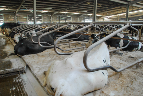 Heifers at Worthy Farm are cubicle trained before they join the herd.