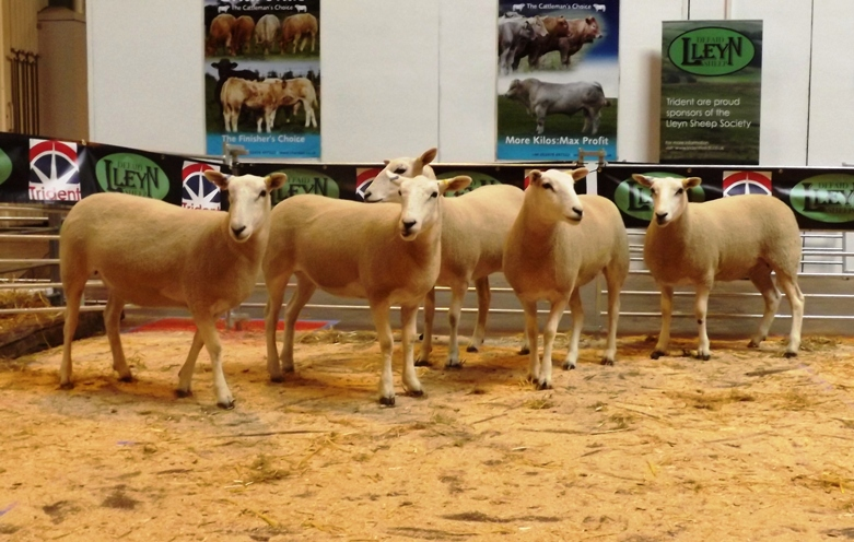 Dewi Ellis 1st prize pen of five shearling ewes