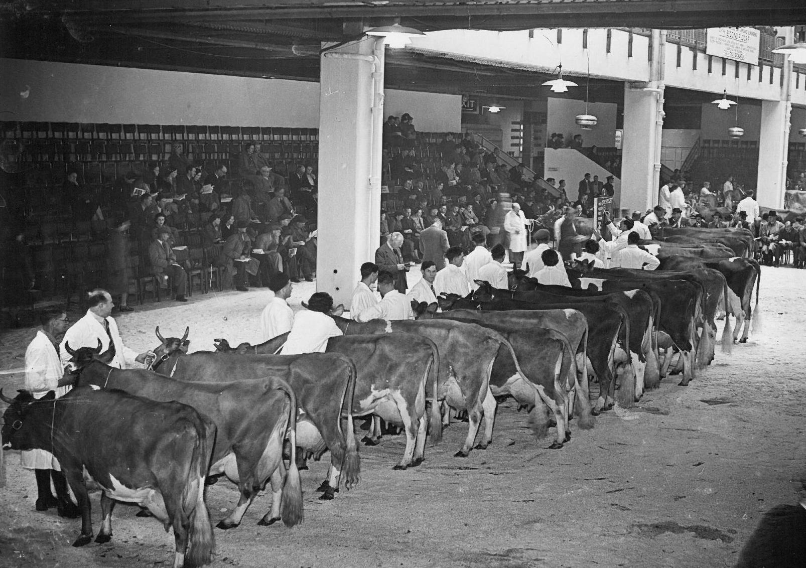 Guernsey judging 1950