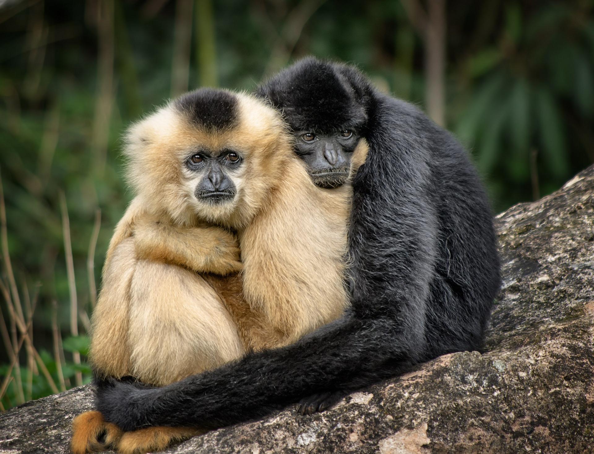 Two monkeys hugging
