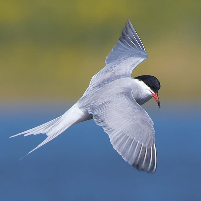 Common Tern / Sterna hirundo