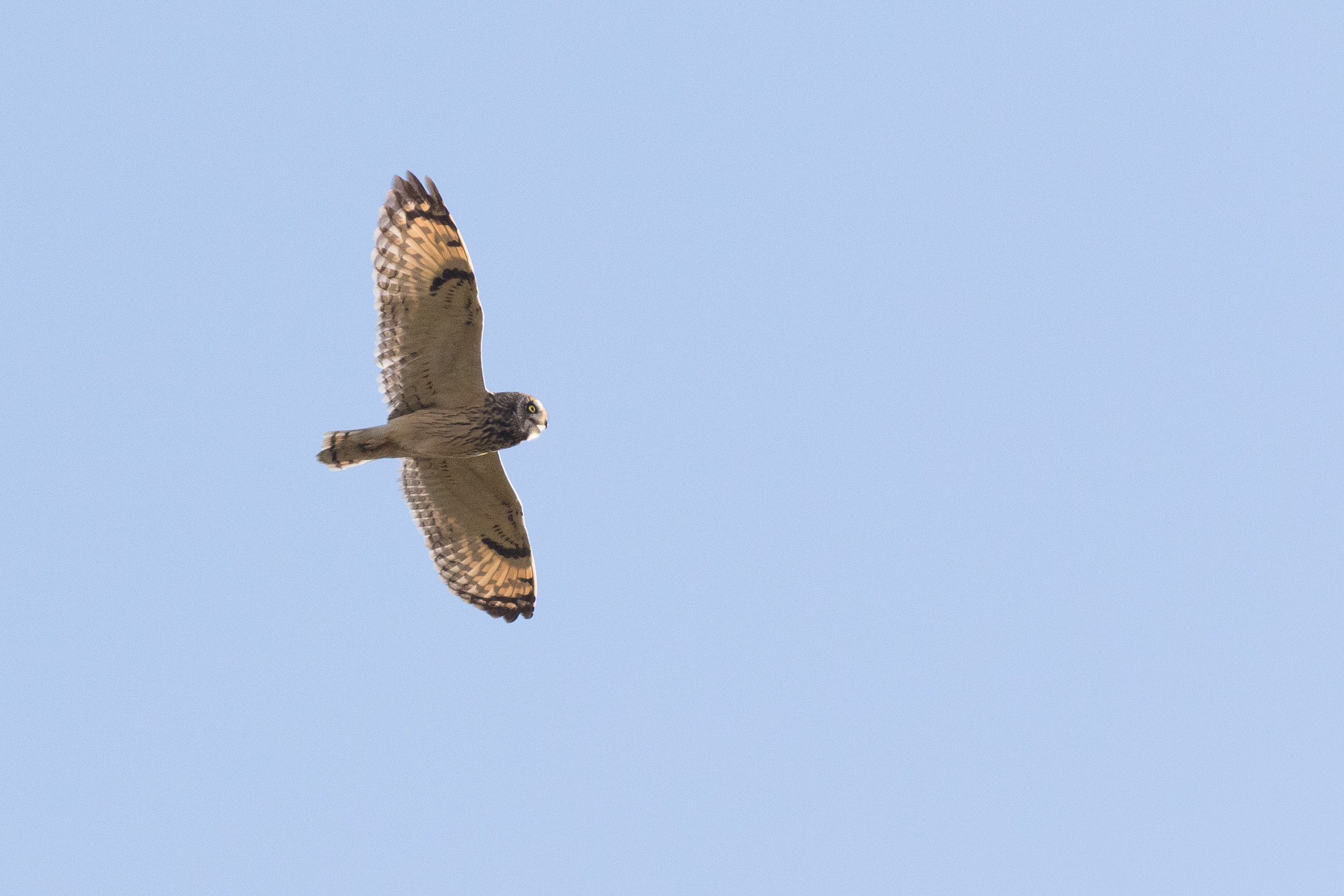 Short-eared Owl (Asio flammeus