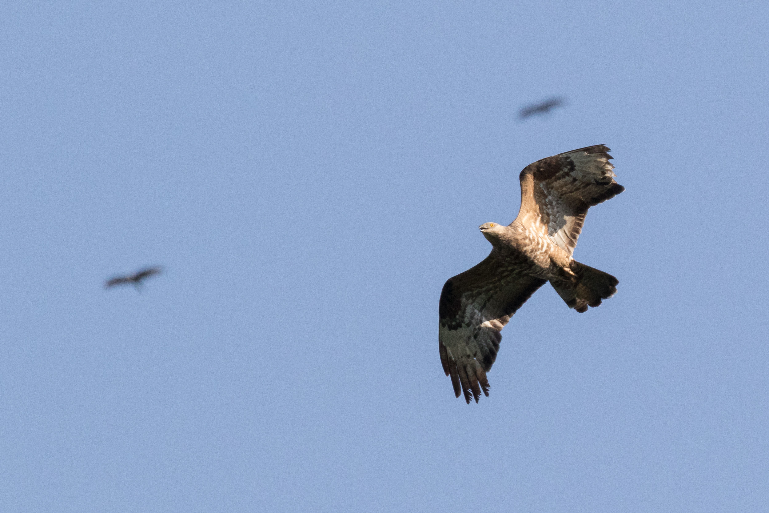 Honey Buzzard (Pernis apivorus). Unfortunately a significant share of the birds get shot on various spots along their migratory route. It is incredible, however, how they just keep going despite the damage…