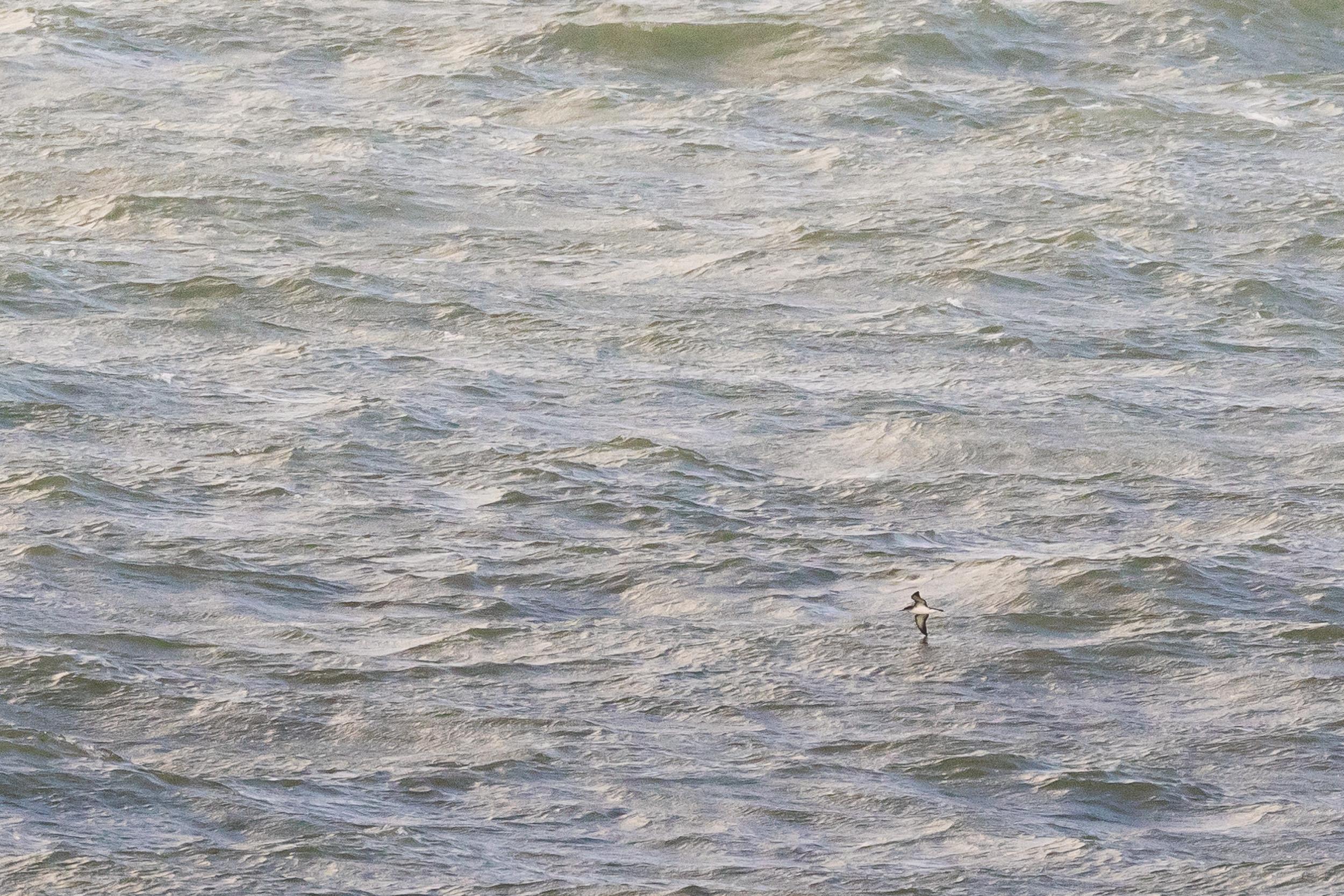 Manx Shearwater (Puffinus puffinus