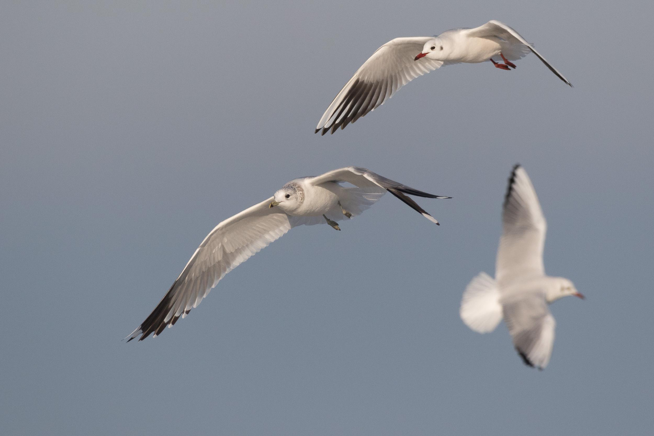 Common Gull (Larus canus) & Black-headed Gulls (Chroicocephalus ridibundus