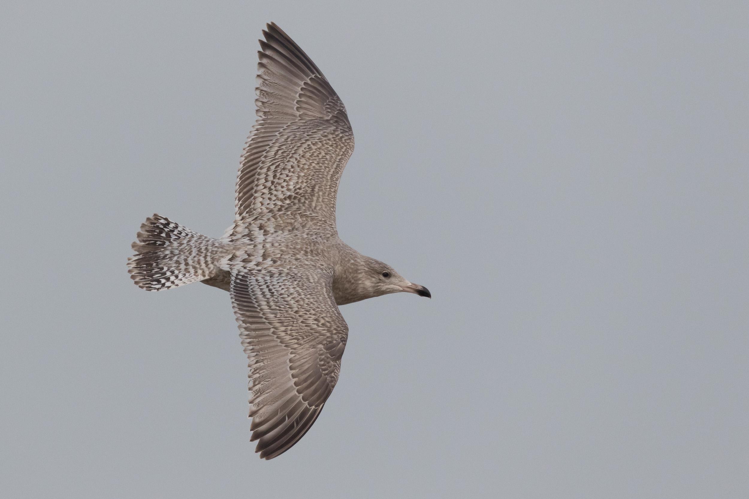 Viking Gull (Larus argentatus x L. hyperboreus)